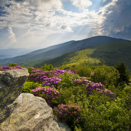 a Blue Ridge mountain covered with purple flowers